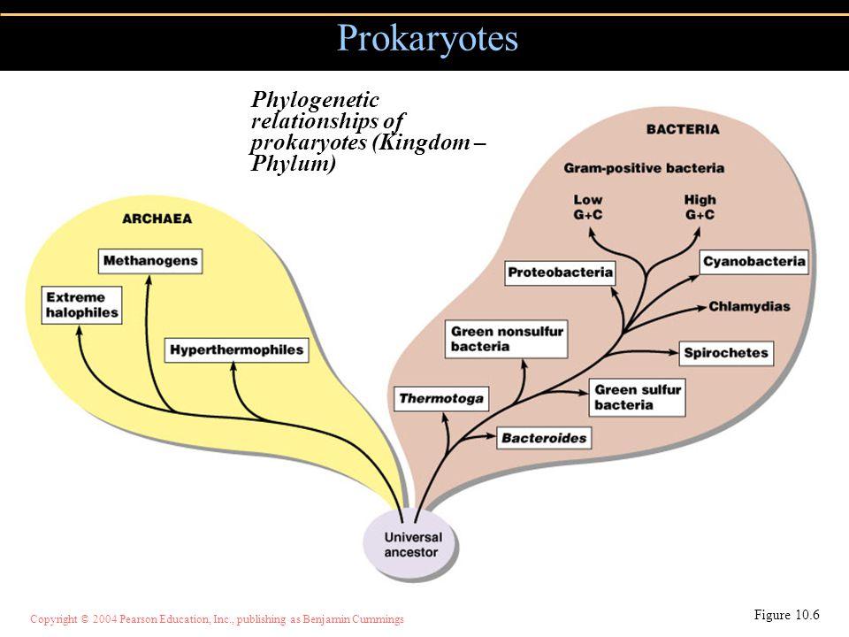 Copyright © 2004 Pearson Education, Inc., publishing as Benjamin Cummings Prokaryotes Figure 10.6 Phylogenetic relationships of prokaryotes (Kingdom –