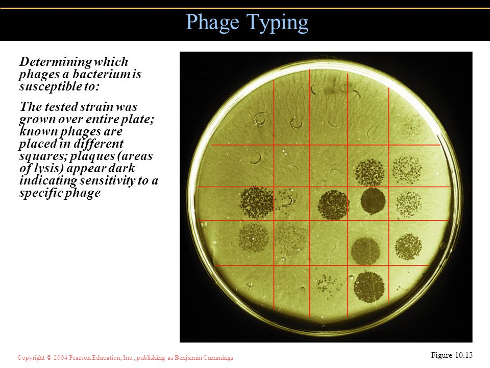 Copyright © 2004 Pearson Education, Inc., publishing as Benjamin Cummings Phage Typing Figure 10.13 Determining which phages a bacterium is susceptibl