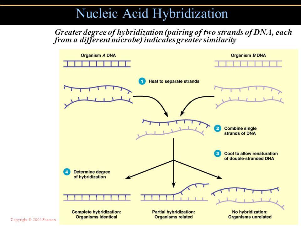 Copyright © 2004 Pearson Education, Inc., publishing as Benjamin Cummings Nucleic Acid Hybridization Figure 10.15 Greater degree of hybridization (pai