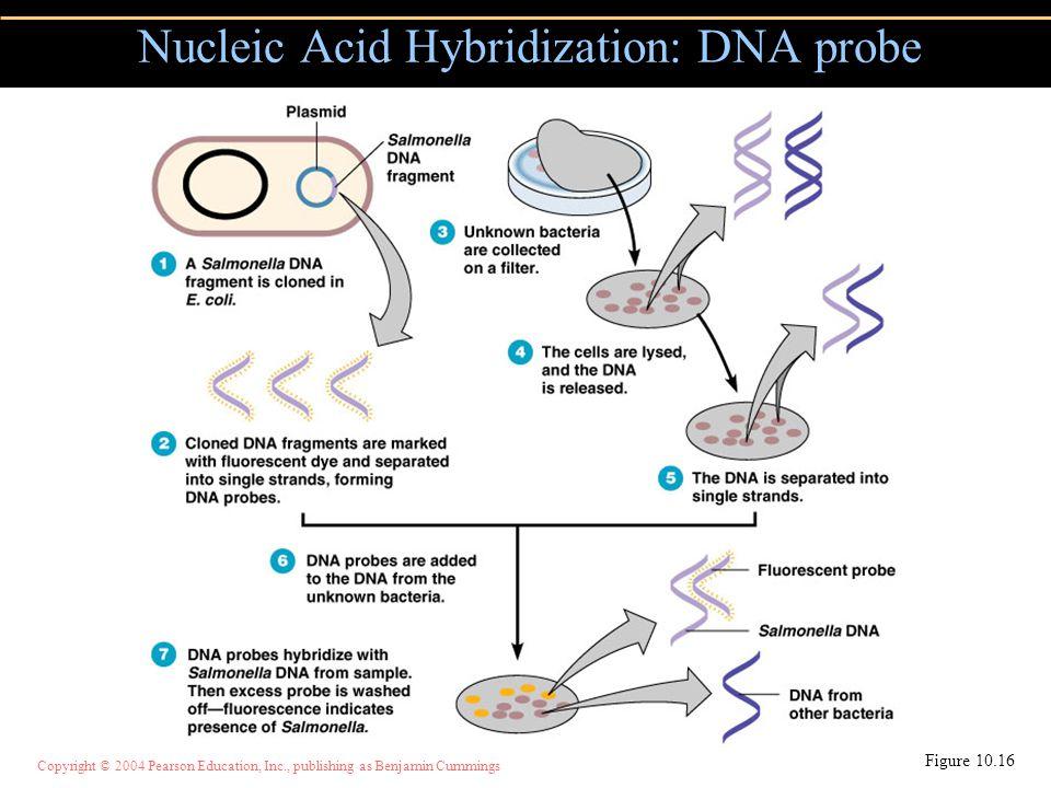Copyright © 2004 Pearson Education, Inc., publishing as Benjamin Cummings Nucleic Acid Hybridization: DNA probe Figure 10.16