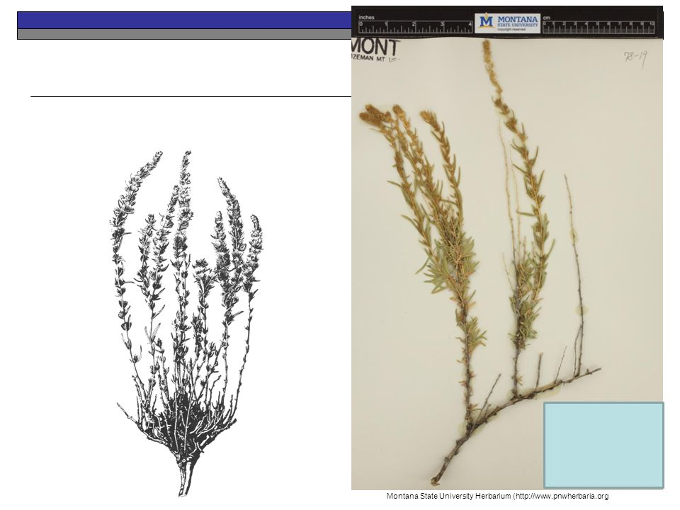 Winterfat Perennial Native Montana State University Herbarium (http://www.pnwherbaria.org