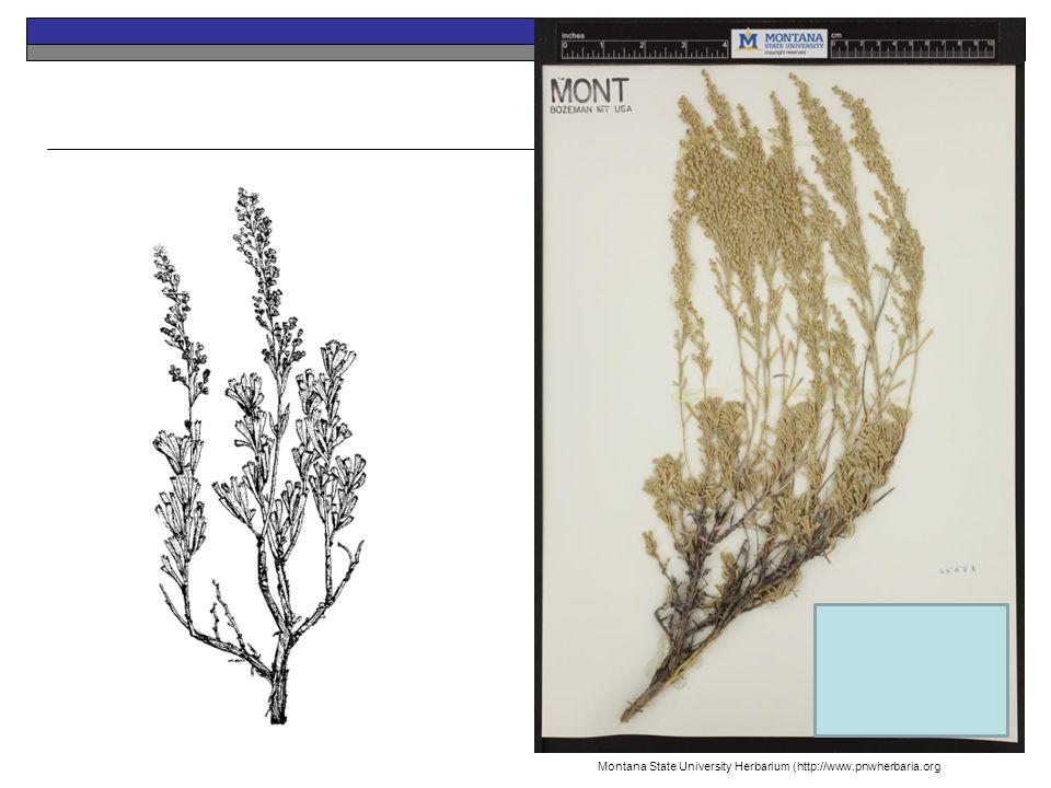 Big Sagebrush Perennial Native Montana State University Herbarium (http://www.pnwherbaria.org