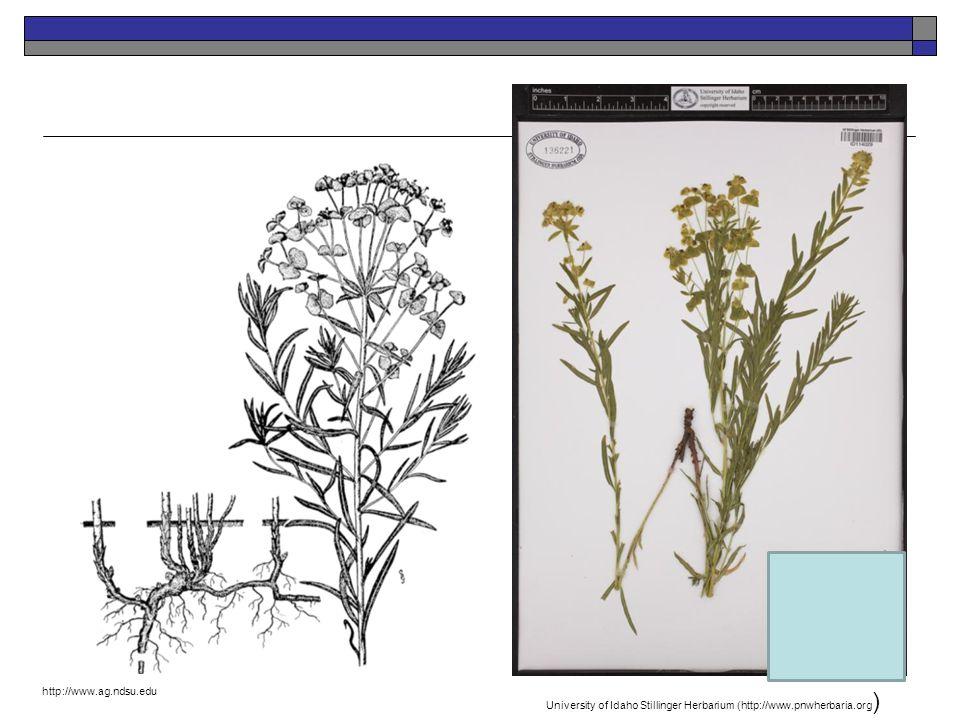 Leafy Spurge University of Idaho Stillinger Herbarium (http://www.pnwherbaria.org ) http://www.ag.ndsu.edu Introduced Perennial