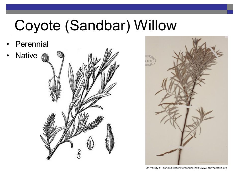 Coyote (Sandbar) Willow Perennial Native K.