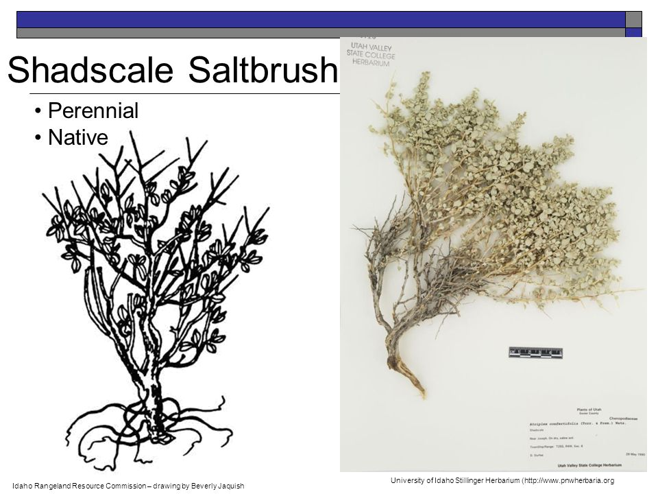 Shadscale Saltbrush Perennial Native Idaho Rangeland Resource Commission – drawing by Beverly Jaquish University of Idaho Stillinger Herbarium (http://www.pnwherbaria.org