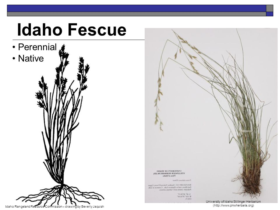 Idaho Fescue Perennial Native Idaho Rangeland Resource Commission – drawing by Beverly Jaquish University of Idaho Stillinger Herbarium (http://www.pnwherbaria.org)