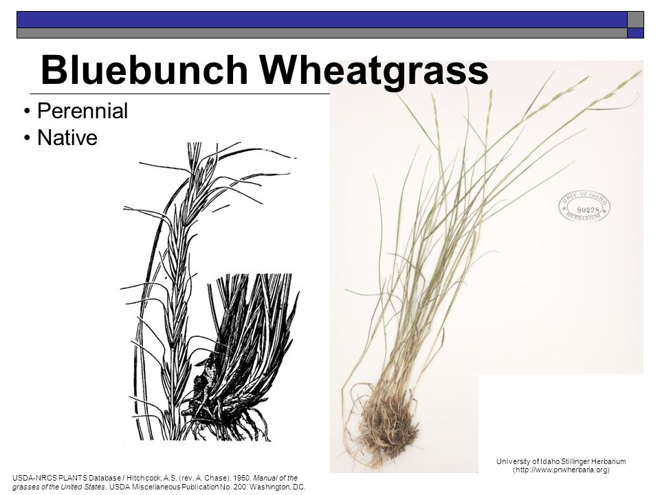 Bluebunch Wheatgrass Perennial Native USDA-NRCS PLANTS Database / Hitchcock, A.S.
