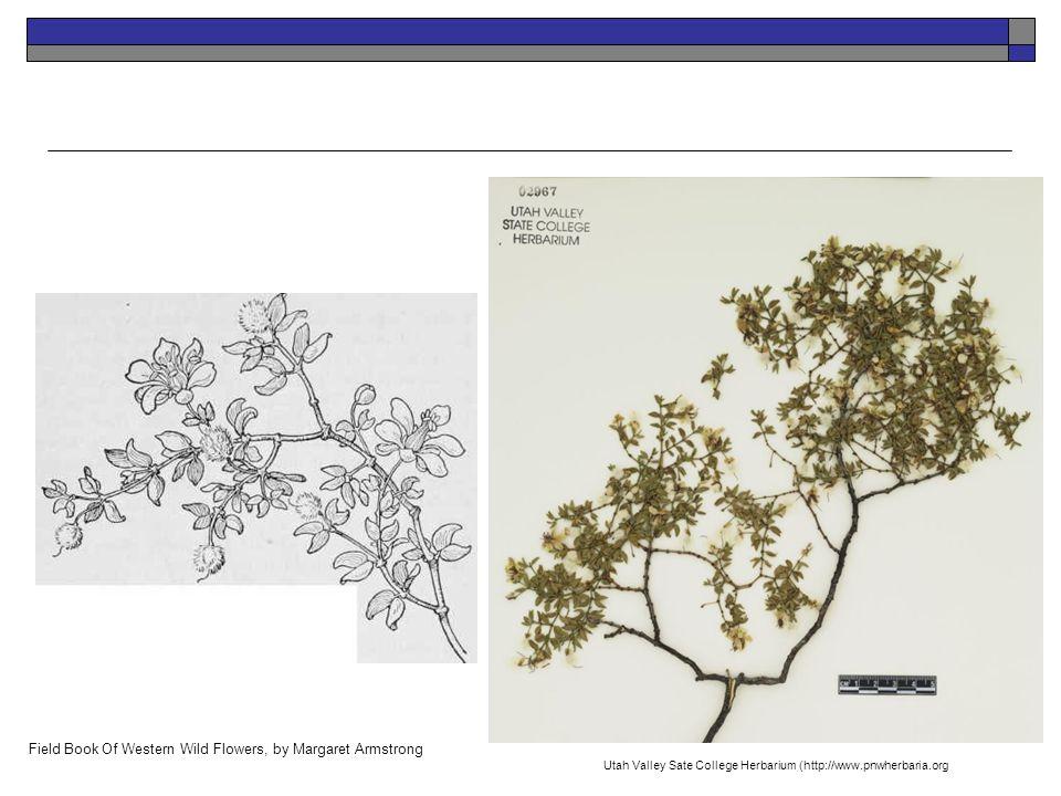 K. Launchbaugh Field Book Of Western Wild Flowers, by Margaret Armstrong Utah Valley Sate College Herbarium (http://www.pnwherbaria.org