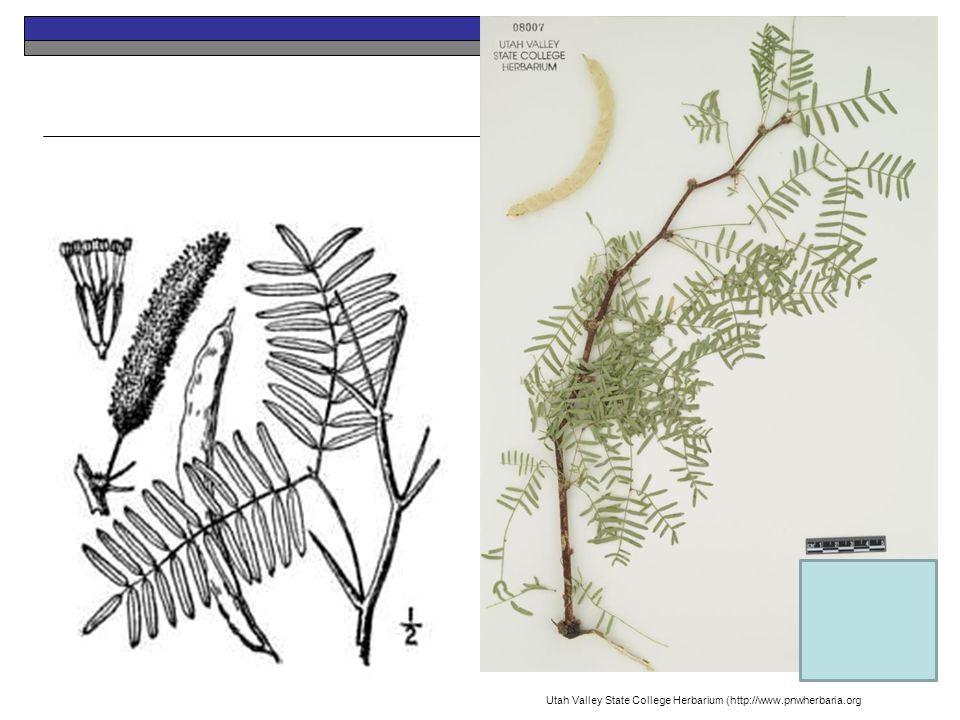 Honey Mesquite Perennial Native Utah Valley State College Herbarium (http://www.pnwherbaria.org