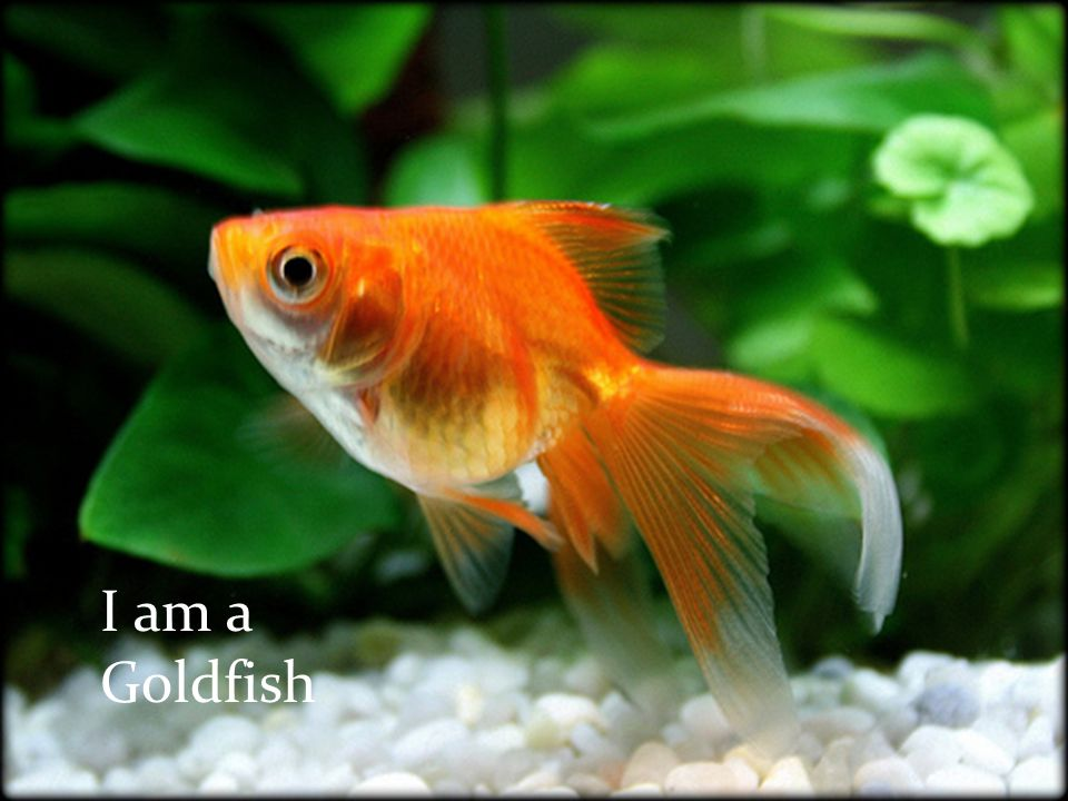 I am the most common aquatic household pet. I have a fairly long life-span but I don't tend to live very long in most households. I have multiple colo
