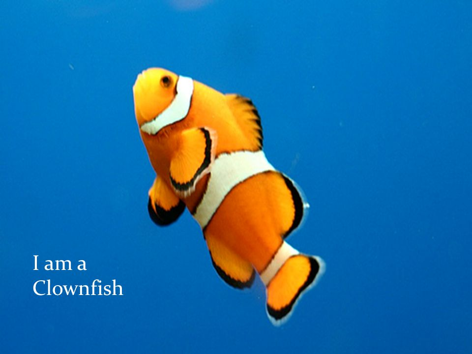 I am a small orange white-striped fish.You can find me in most common coral reefs.