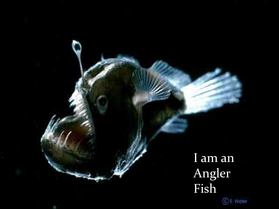 """I live deep near the bottom of the ocean. I lure my prey by using my """"light"""" connected to my head from an antennae. I have an extremely large mouth an"""