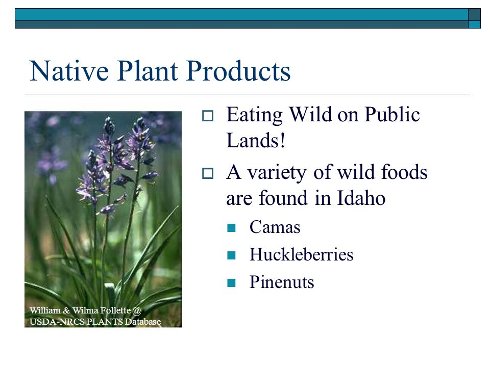 Native Plant Products  Eating Wild on Public Lands!  A variety of wild foods are found in Idaho Camas Huckleberries Pinenuts William & Wilma Follett