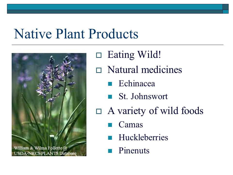 Native Plant Products  Eating Wild.  Natural medicines Echinacea St.