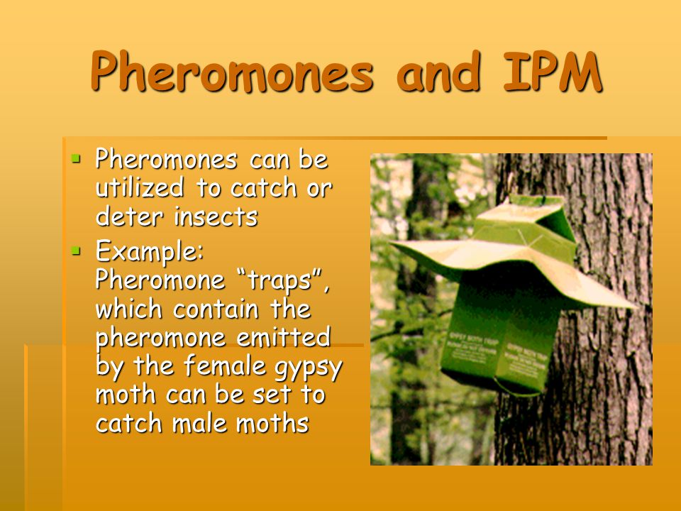Pheromones and IPM  Pheromones can be utilized to catch or deter insects  Example: Pheromone traps , which contain the pheromone emitted by the female gypsy moth can be set to catch male moths