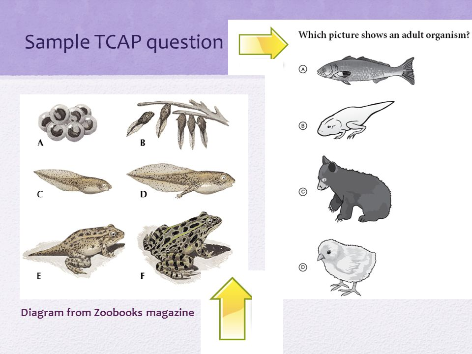 Sample TCAP question Diagram from Zoobooks magazine