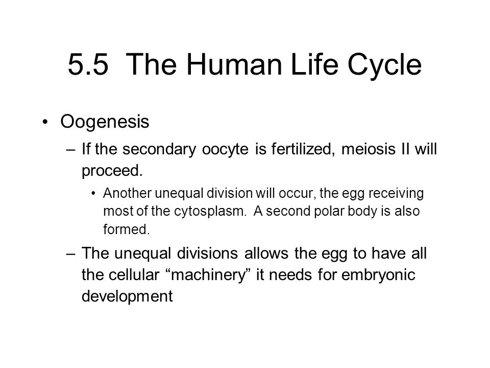 5.5 The Human Life Cycle Oogenesis –If the secondary oocyte is fertilized, meiosis II will proceed. Another unequal division will occur, the egg recei