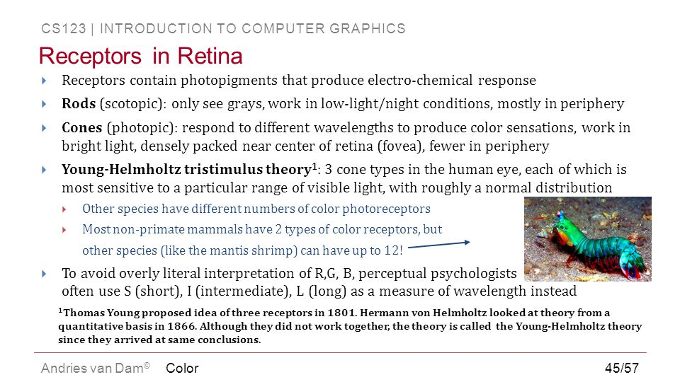 CS123 | INTRODUCTION TO COMPUTER GRAPHICS Andries van Dam ©  Receptors contain photopigments that produce electro-chemical response  Rods (scotopic)