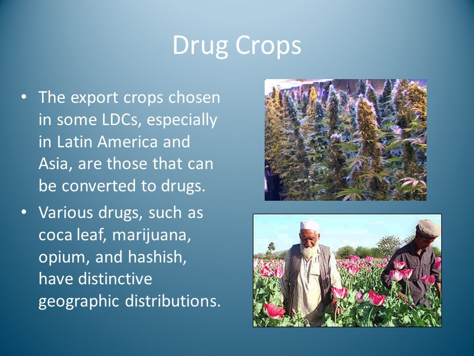 Drug Crops The export crops chosen in some LDCs, especially in Latin America and Asia, are those that can be converted to drugs. Various drugs, such a