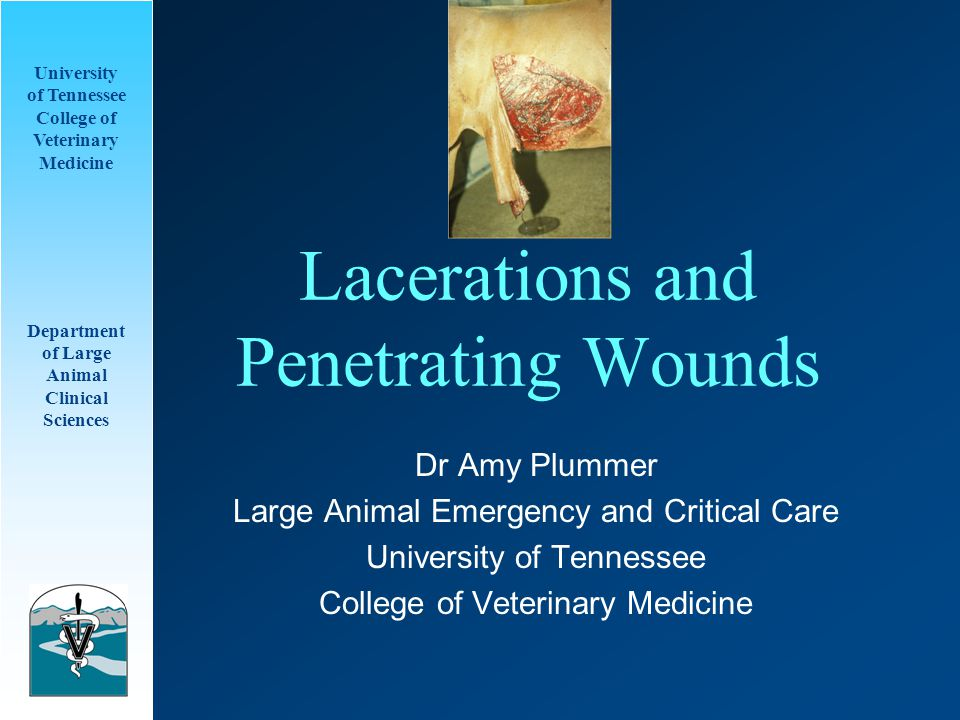 University of Tennessee College of Veterinary Medicine Department of Large Animal Clinical Sciences Care of Lacerations Primary closure, Delayed primary closure –Sutures –Staples Seconday closure –Lavage and debridement first, then closure after granulation tissue Second intention healing –Unable to suture, allow to heal on its own