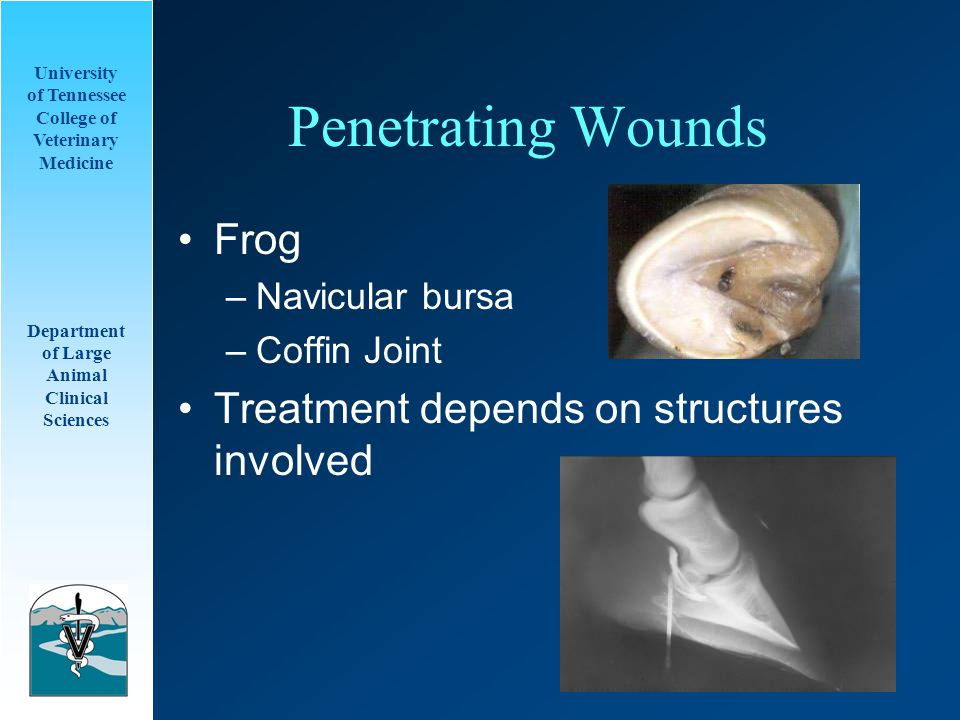 University of Tennessee College of Veterinary Medicine Department of Large Animal Clinical Sciences Penetrating Wounds Frog –Navicular bursa –Coffin Joint Treatment depends on structures involved