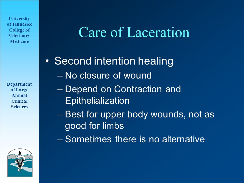 University of Tennessee College of Veterinary Medicine Department of Large Animal Clinical Sciences Care of Laceration Second intention healing –No cl