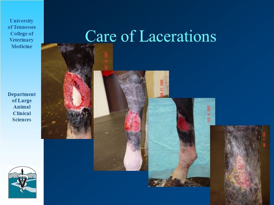 University of Tennessee College of Veterinary Medicine Department of Large Animal Clinical Sciences Care of Lacerations