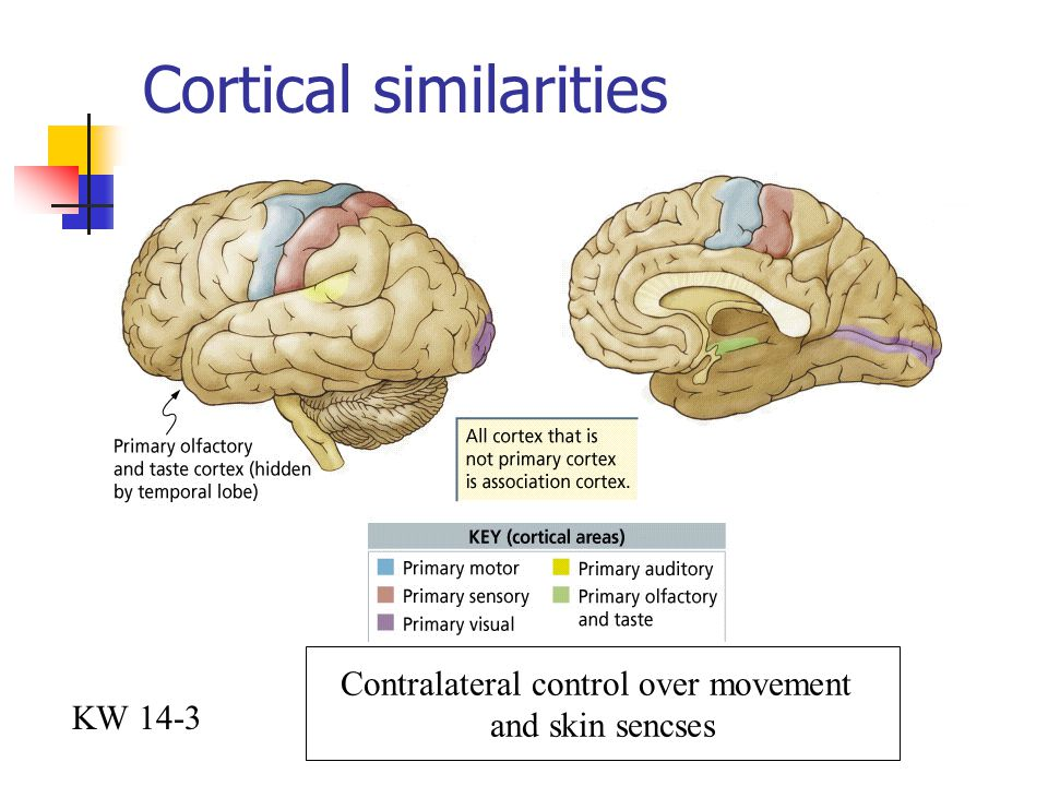 Cortical similarities KW 14-3 Contralateral control over movement and skin sencses