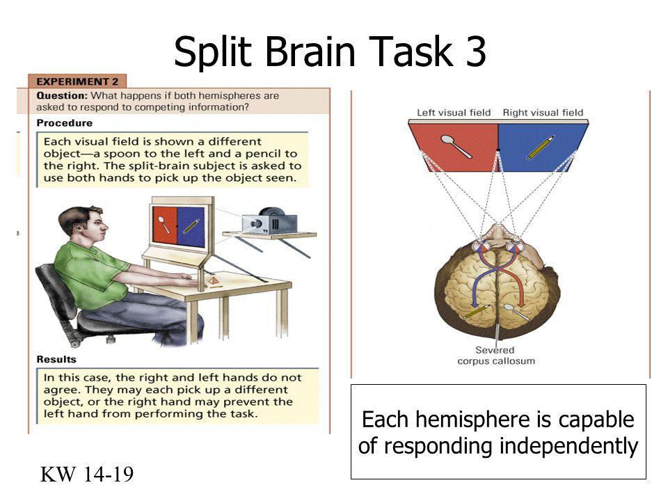 Split Brain Task 3 KW 14-19 Each hemisphere is capable of responding independently