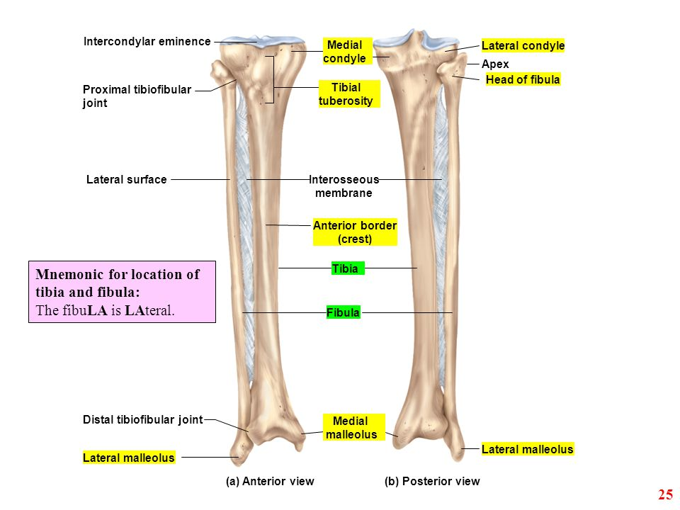 Lateral condyle Apex Head of fibula Intercondylar eminence Lateral surface Distal tibiofibular joint Lateral malleolus Fibula Anterior border (crest)