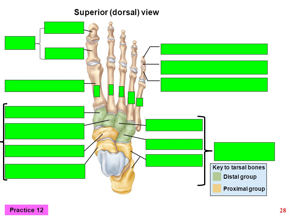Key to tarsal bones Distal group Proximal group Superior (dorsal) view Practice 12 28