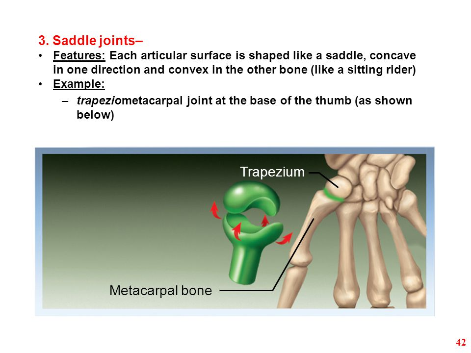 Trapezium Metacarpal bone 3. Saddle joints– Features: Each articular surface is shaped like a saddle, concave in one direction and convex in the other