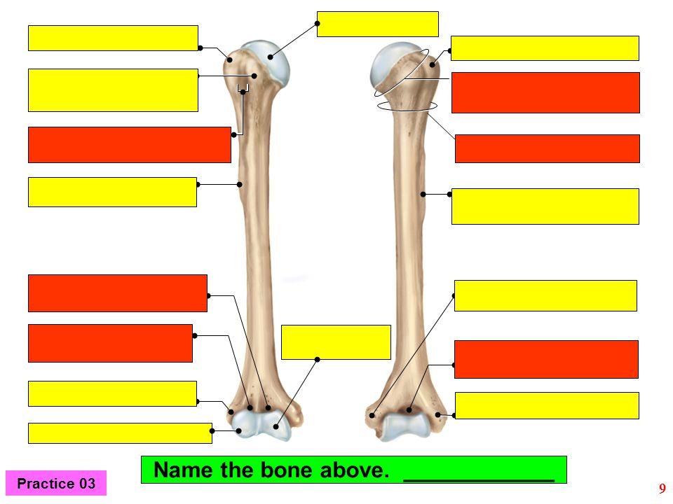 Name the bone above. ____________ 9 Practice 03