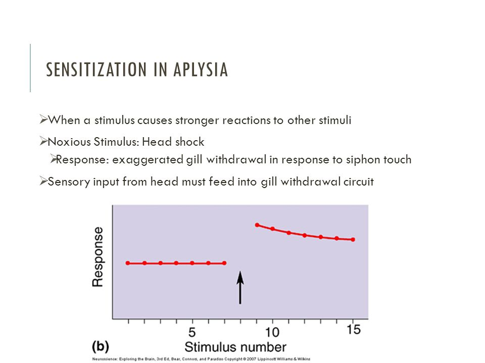 SENSITIZATION IN APLYSIA  When a stimulus causes stronger reactions to other stimuli  Noxious Stimulus: Head shock  Response: exaggerated gill withdrawal in response to siphon touch  Sensory input from head must feed into gill withdrawal circuit