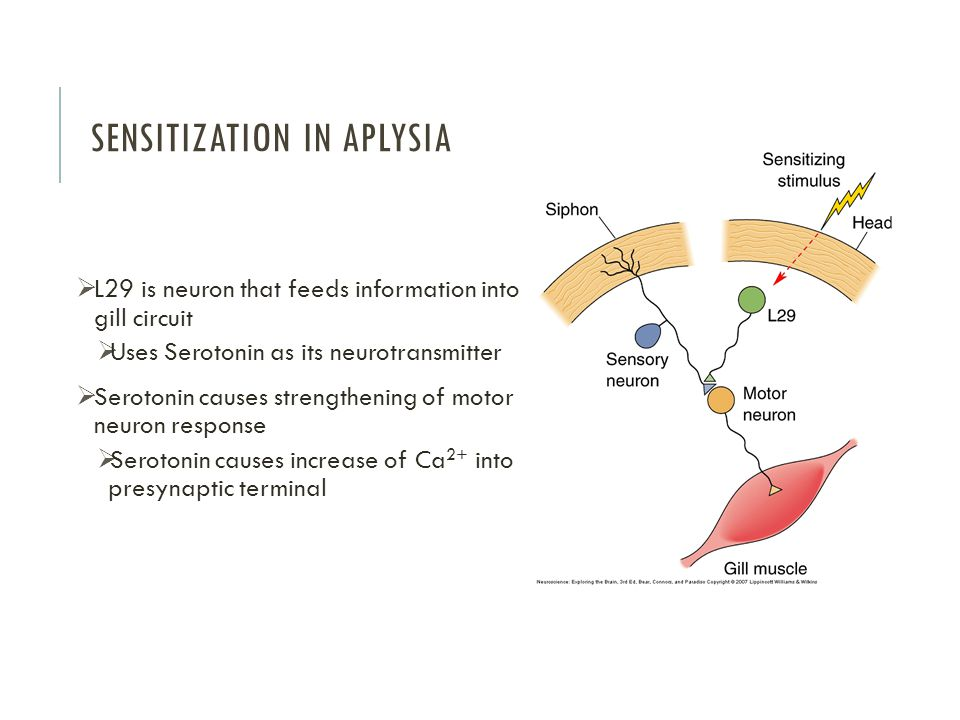 SENSITIZATION IN APLYSIA  L29 is neuron that feeds information into gill circuit  Uses Serotonin as its neurotransmitter  Serotonin causes strengthening of motor neuron response  Serotonin causes increase of Ca 2+ into presynaptic terminal