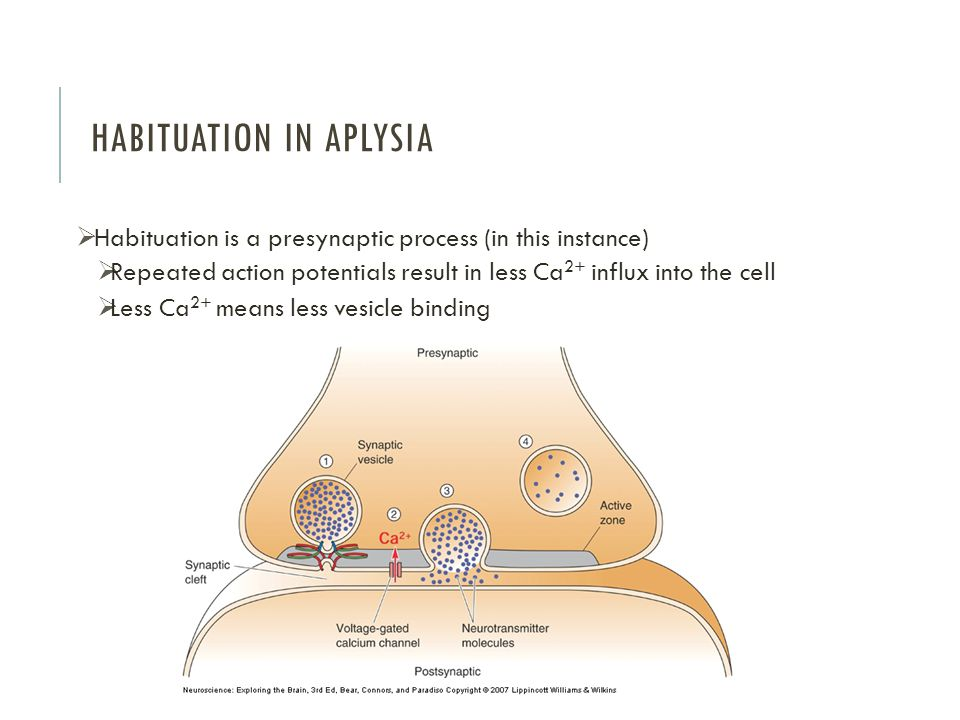 HABITUATION IN APLYSIA  Habituation is a presynaptic process (in this instance)  Repeated action potentials result in less Ca 2+ influx into the cell  Less Ca 2+ means less vesicle binding