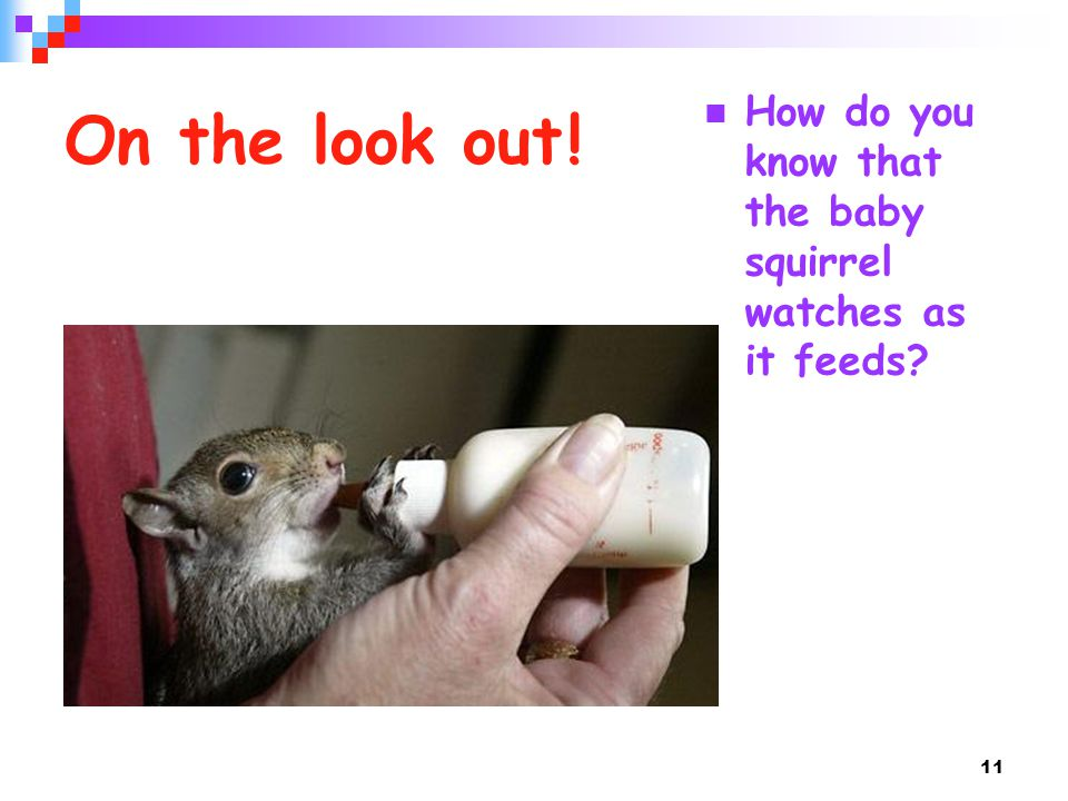 11 On the look out ! How do you know that the baby squirrel watches as it feeds?