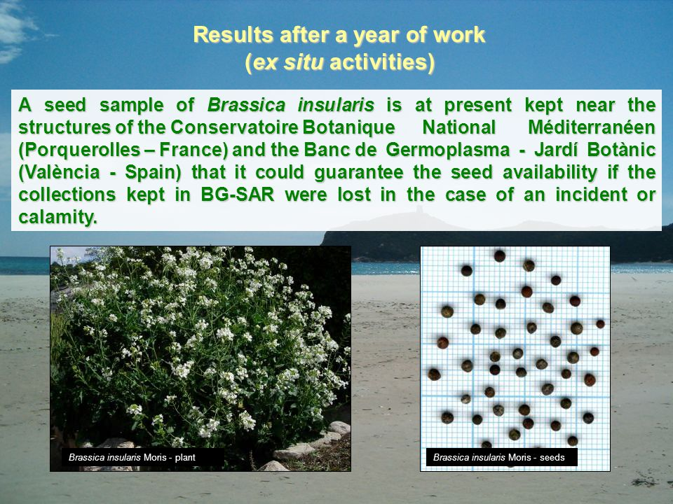 Results after a year of work (ex situ activities) A seed sample of Brassica insularis is at present kept near the structures of the Conservatoire Bota