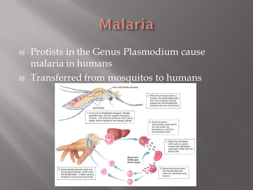  Protists in the Genus Plasmodium cause malaria in humans  Transferred from mosquitos to humans