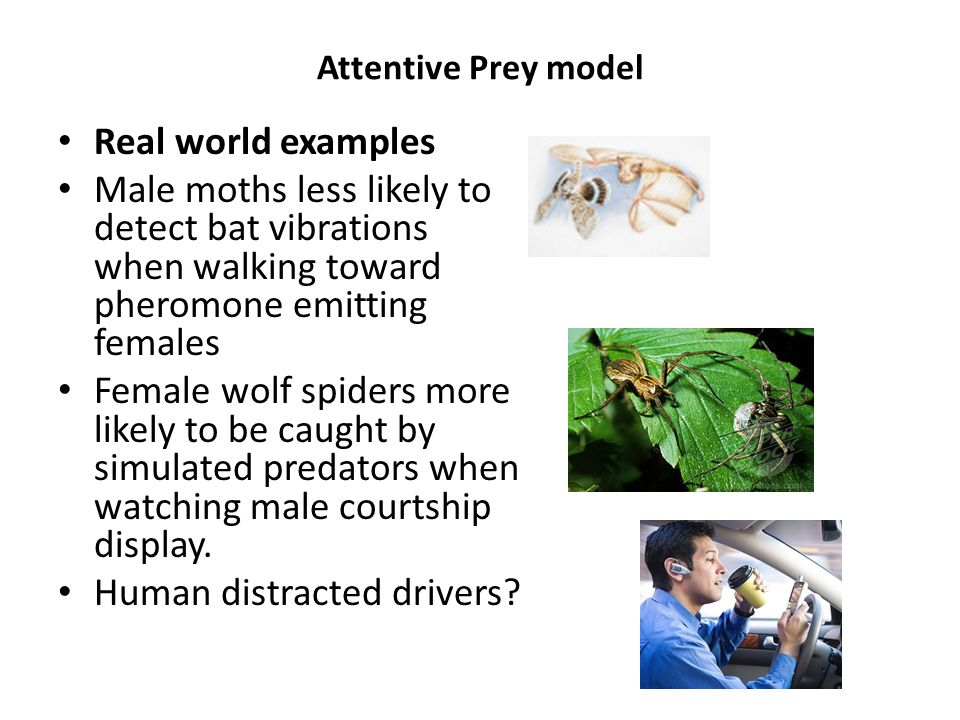 Attentive Prey model Real world examples Male moths less likely to detect bat vibrations when walking toward pheromone emitting females Female wolf spiders more likely to be caught by simulated predators when watching male courtship display.