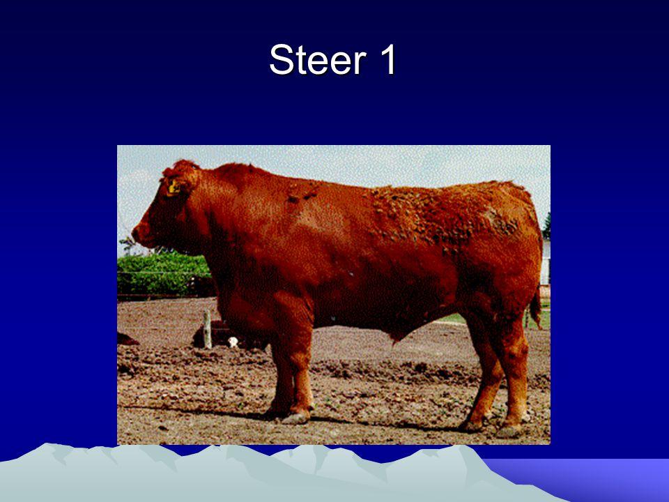 Steer 1
