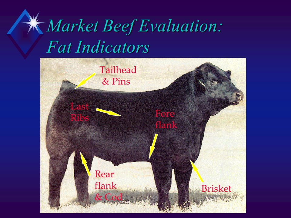 Market Beef Evaluation: Fat Indicators Tailhead & Pins Last Ribs Brisket Fore flank Rear flank & Cod