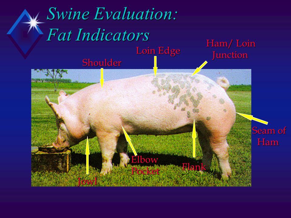 Swine Evaluation: Fat Indicators Shoulder Loin Edge Ham/ Loin Junction Junction Flank ElbowPocket Jowl Seam of Ham Ham