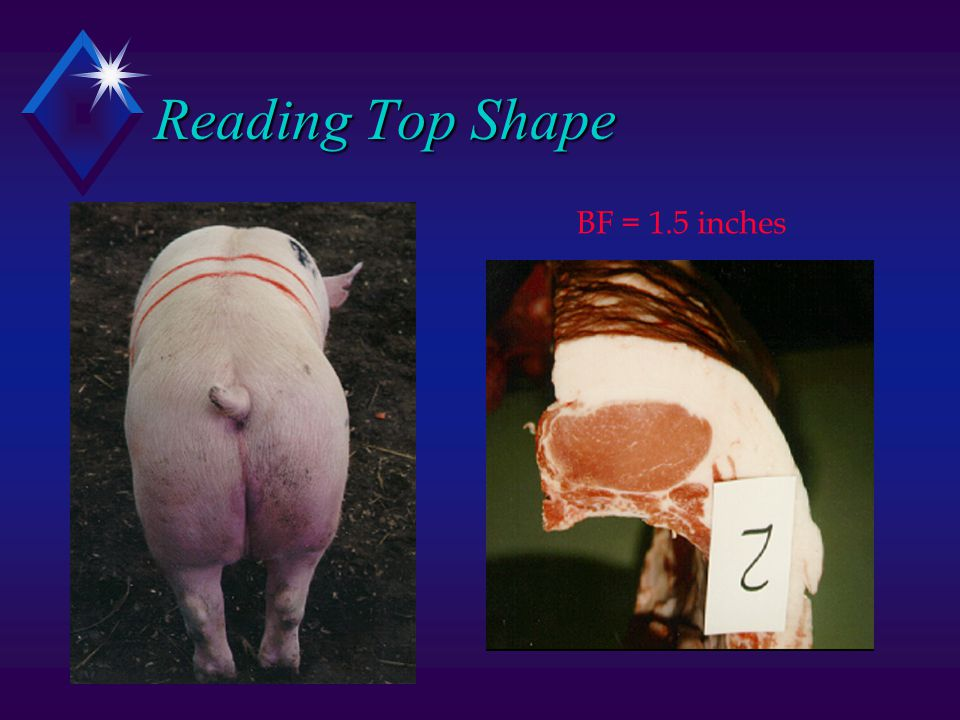 Reading Top Shape BF = 1.5 inches
