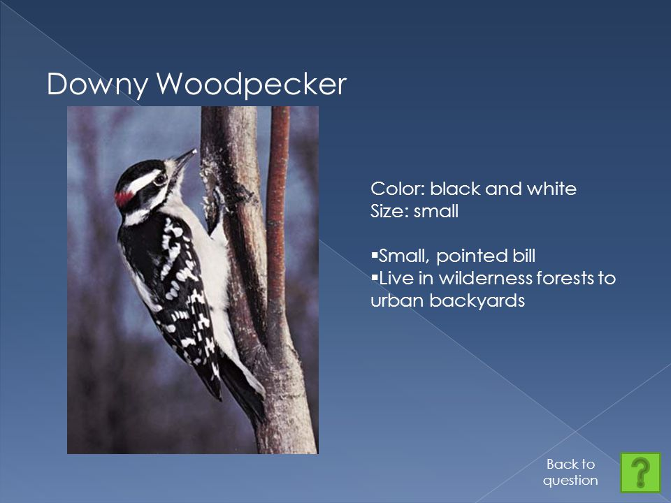 Downy Woodpecker Color: black and white Size: small  Small, pointed bill  Live in wilderness forests to urban backyards Back to question
