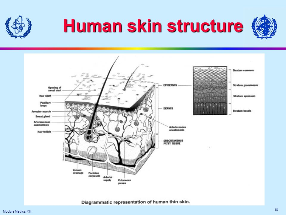 Module Medical XIII. 10 Human skin structure
