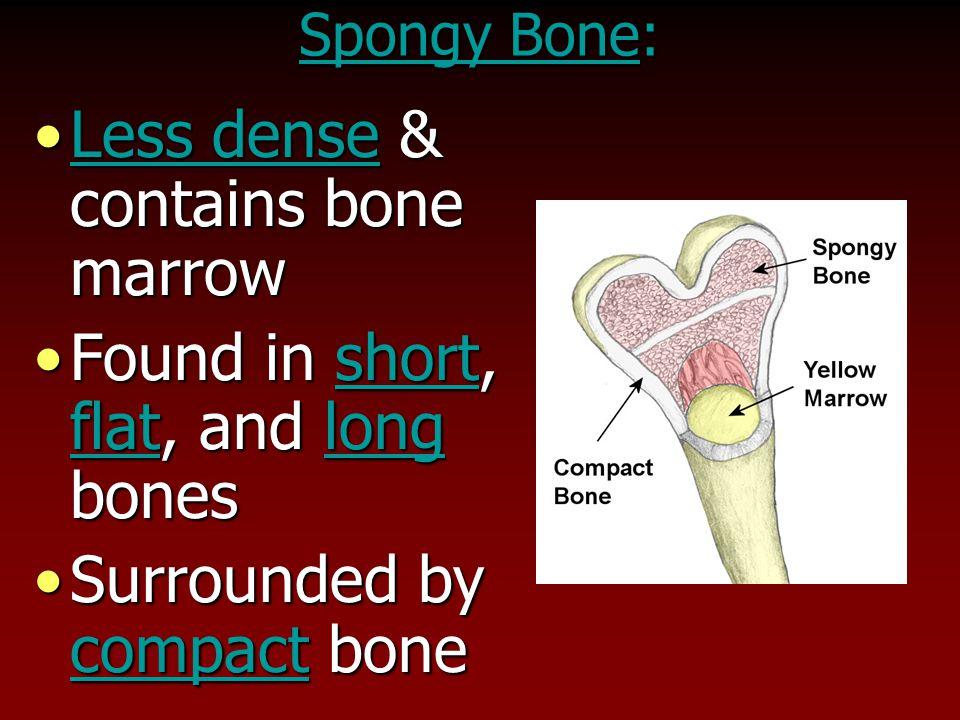 Less dense & contains bone marrowLess dense & contains bone marrow Found in short, flat, and long bonesFound in short, flat, and long bones Surrounded by compact boneSurrounded by compact bone Spongy Bone: