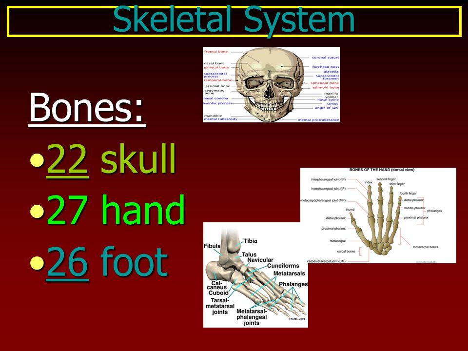 Bones: 22 skull22 skull 27 hand27 hand 26 foot26 foot