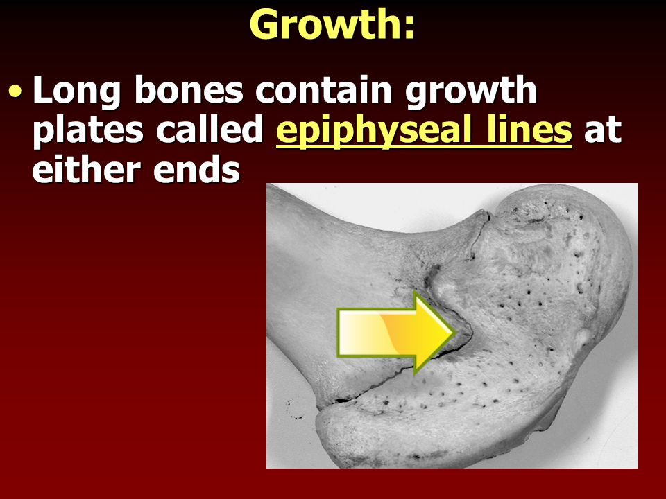 Growth: Long bones contain growth plates called epiphyseal lines at either endsLong bones contain growth plates called epiphyseal lines at either ends