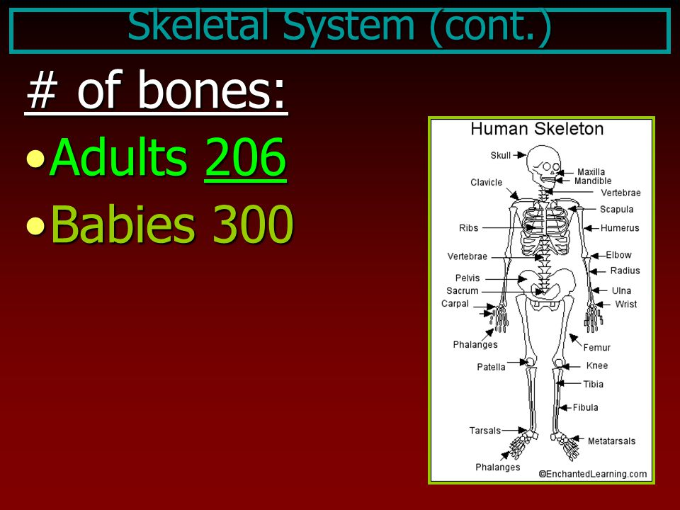 Skeletal System (cont.) # of bones: Adults 206Adults 206 Babies 300Babies 300